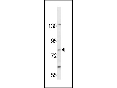 Rabbit Anti-SLC15A1, CT Antibody