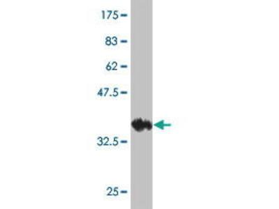 Mouse Anti-KCNK10 Antibody