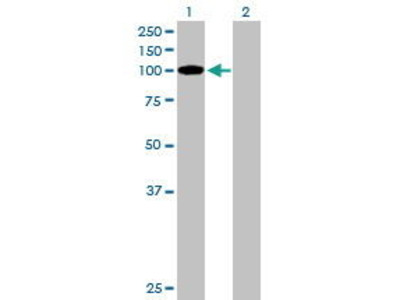 Mouse Anti-TCEB3B Antibody