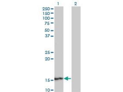 Mouse Anti-SUPT4H1 Antibody