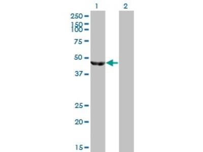 Mouse Anti-ENOB Antibody