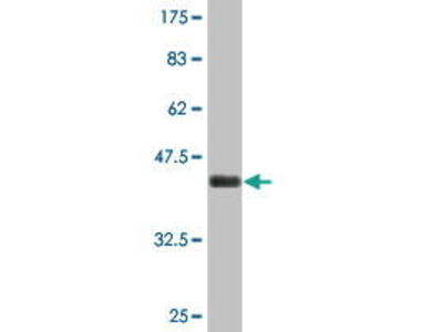 Mouse Anti-PTTG1IP Antibody
