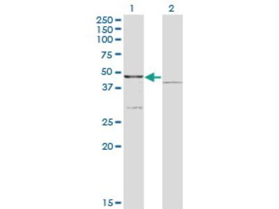 Mouse Anti-COQ3 Antibody
