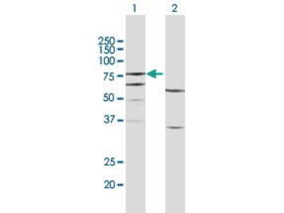 Rabbit Anti-FERMT3 Antibody