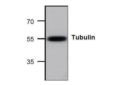 Rabbit Anti-Tubulin Antibody