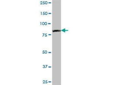 Mouse Anti-PNPT1 Antibody