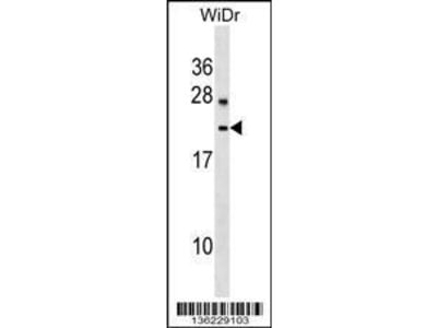 Rabbit Anti-LYZL6, ID Antibody