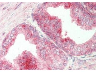 Rabbit Anti-CREB3 Antibody