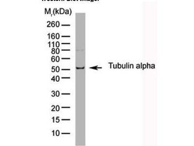 Rat Anti-Tubulin, alpha Antibody