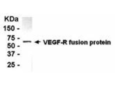 Chicken Anti-VEGF Receptor 2 Antibody