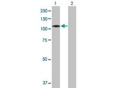 Mouse Anti-BEND2 Antibody