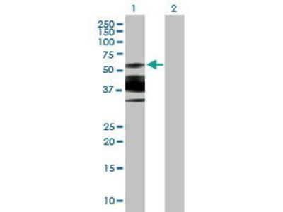 Mouse Anti-GLYR1 Antibody