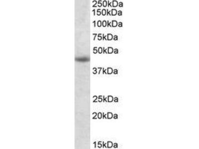 Goat Anti-GNAS Antibody