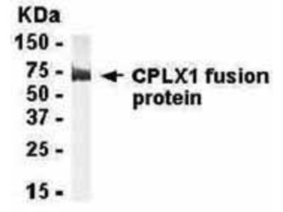 Chicken Anti-Complexin 1 Antibody