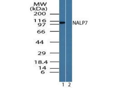 Rabbit Anti-NALP7 Antibody