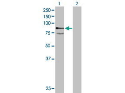 Mouse Anti-PTPRR Antibody