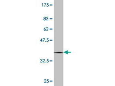 Mouse Anti-Protocadherin beta-12 Antibody