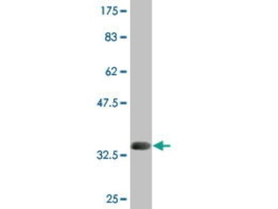 Mouse Anti-REEP5 Antibody