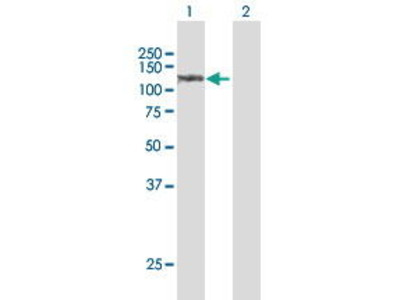 Rabbit Anti-Sulfatase 1 Antibody