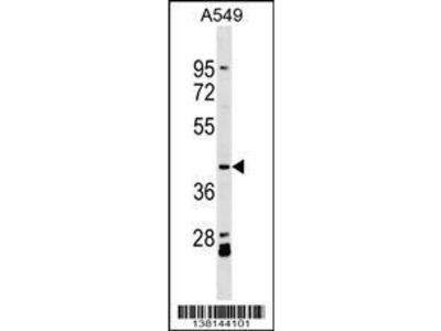 Rabbit Anti-ACTL8, ID Antibody