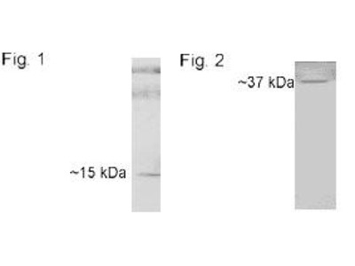 Rabbit Anti-Cyclophilin D Antibody