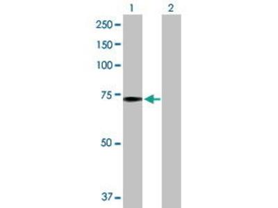 Rabbit Anti-PABPC1 Antibody