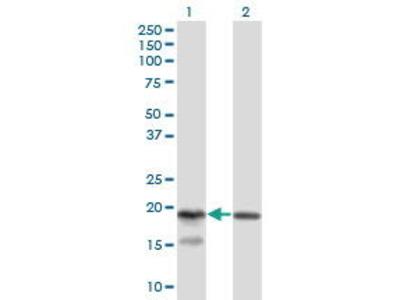 Mouse Anti-KLRC4 Antibody