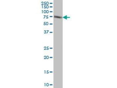 Mouse Anti-ACBD3 Antibody