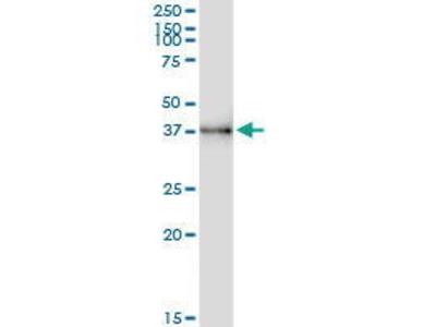 Rabbit Anti-UNC119 Antibody