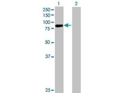 Mouse Anti-PCDHB13 Antibody