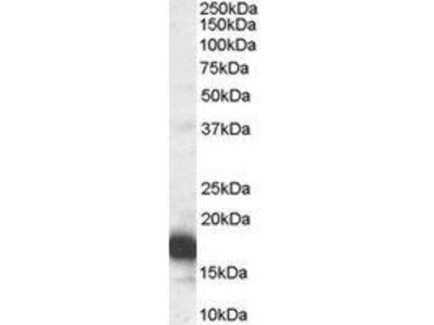 Goat Anti-CDKN2A Antibody