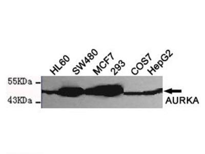 Mouse Anti-Aurora Kinase A Antibody