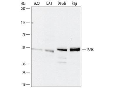Goat Anti-TRAF Interacting Protein TANK Antibody