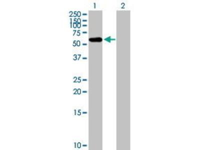 Mouse Anti-FBXO3 Antibody