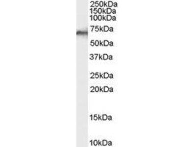 Goat Anti-PTPN6 Antibody