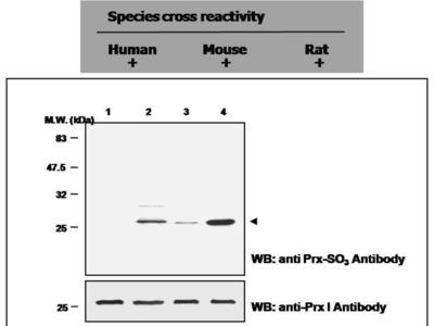 Pab Rb x human Peroxiredoxin-SO3 antibody