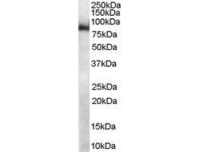 Goat Anti-FXY2 Antibody
