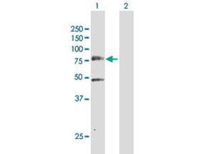 Rabbit Anti-PLK3 Antibody
