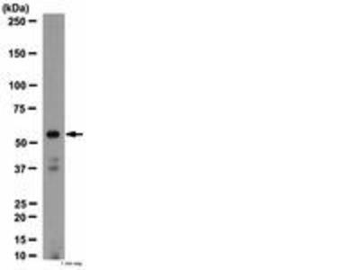 Rabbit Anti-Nicotinic Acetylcholine Receptor alpha 4 Antibody