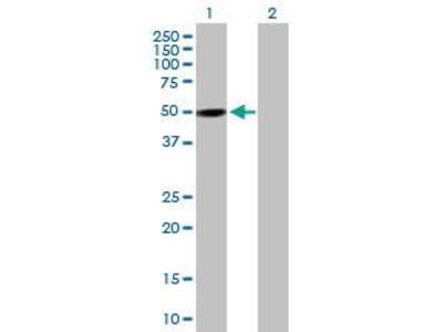Mouse Anti-PXK Antibody