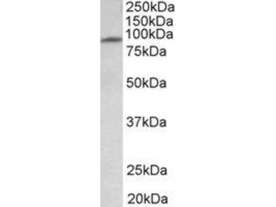 Goat Anti-MFSD6 Antibody
