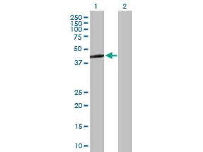 Mouse Anti-ERAL1 Antibody