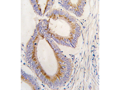 Rabbit Anti-BMP11, NT Antibody