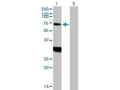 Mouse Anti-ZNF238 Antibody