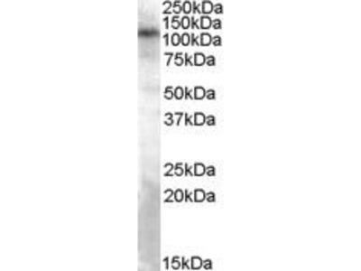 Goat Anti-TRPC4 Antibody