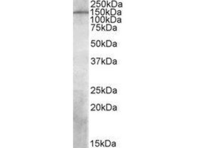 Goat Anti-PREX1, ID Antibody