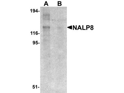 Rabbit Anti-NALP8 Antibody