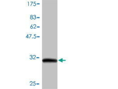 Mouse Anti-GNG7 Antibody