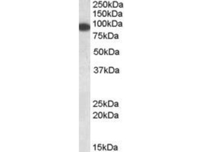 Goat Anti-ERC1 Antibody