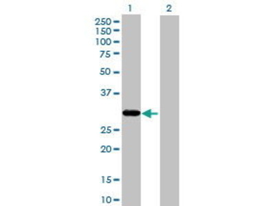 Mouse Anti-THAP1 Antibody